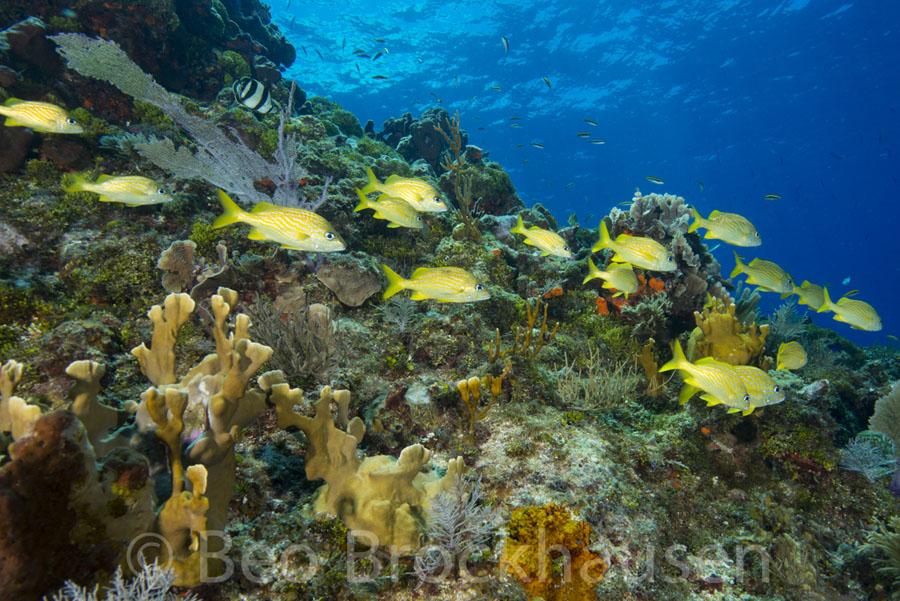 yellowfish_beobrockhausen_jr24174